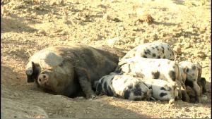 Schweine für's Schweineleasing auf dem Biohof Hausberg